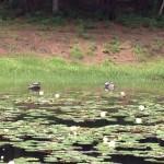 みそぎ池(御池)スイレンの花