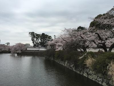 神奈川 お花見スポット、小田原城 桜