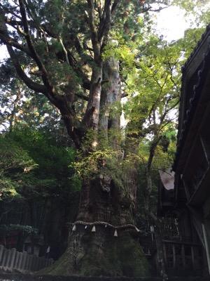 湯布院 大杵社の大杉